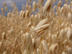 Havre indeholder gluten, men der fndes specialfremstillet havre, som cøliakipatienter kan tåle