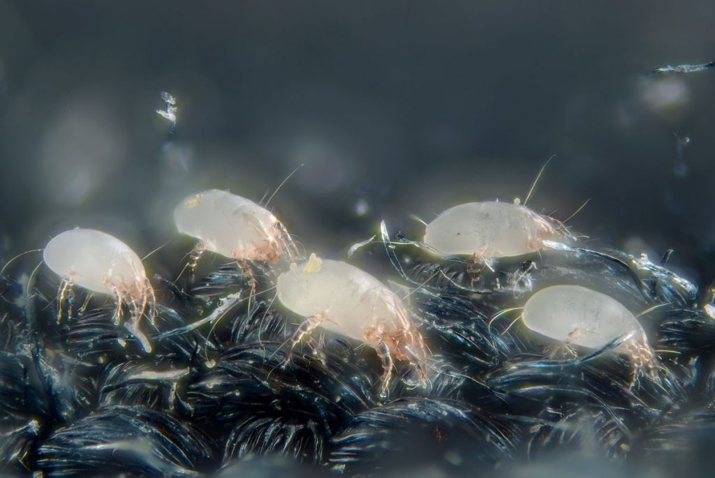 Husstøvmideallergi skyldes husstøvmider