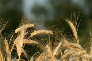 Hvede har en høj koncentration af gluten og bør defor undgås af cøliakipatienter