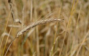 Rug - som f.eks. indgår i rugbrød - indeholder gluten
